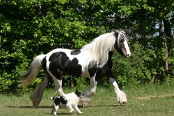 "horse and hound trotting , two friends, ""Irish Cob"" , ""Irish Tinker"" Tinker joint by ""Jack Russel Terrier"" paint"