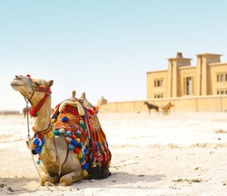 Sitting camel on sand with blue sky