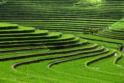 terrace rice fields, Bali, Indonesia
