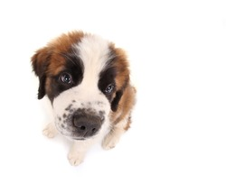Innocent Saint Bernard Puppy Looking Sweet and Innocent on White Background