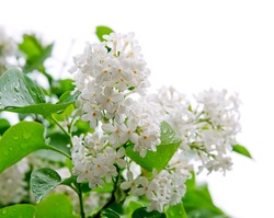 white flowers of lilac isolated on white