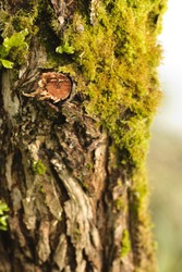 Close up tree bark with moss. Shallow DOF