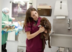 a nurse holds a lab puppy whilst a vet operates on a dog in the operating room