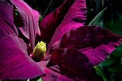 Clematis flower in the dramatic early morning light