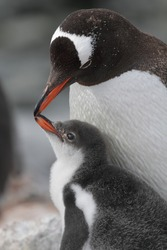 Gentoo penguin parent and chick, Antarctic Peninsula, Antarctica