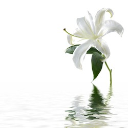 Macro of white lily with reflection