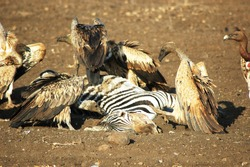 Vultures fighting for place to eat dead zebra, natural habitat