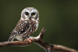 Closeup of a wide-eyed Northern Saw-Whet Owl.
