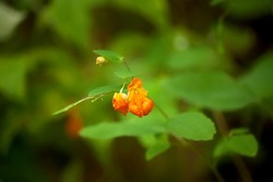 Wild Impatiens flower, natural remedy for poison ivy rash