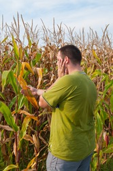Man checking the destroyed corn after hot summer drought