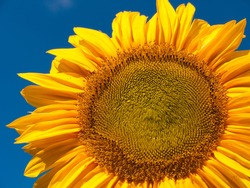 Sunflower at blue sky