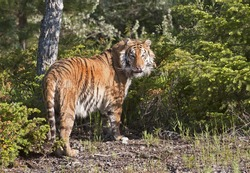 Siberian tiger (Panthera tigris altaica) pauses in his search for food in the forest.