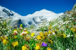 Alpine meadow closeup to the background GrossÂ?glockner. Austria