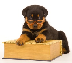 Rottweiler puppy wearing glasses with huge book