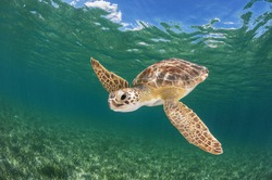 Green Sea Turtle over Seagrass Bed in The Bahamas