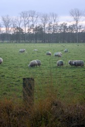 Sheep with green markings