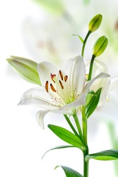 Beautiful white lily flowers, isolated on white