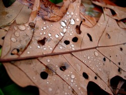 Brown leaf with dew and holes