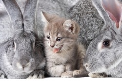 Image of cute kitten between two grey rabbits