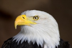 Portrait of a bald eagle. Profile.
