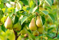 Some green pears with leafs on the branch
