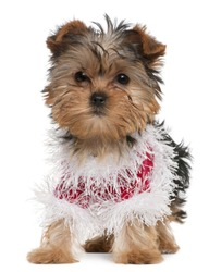 Yorkshire Terrier puppy dressed up, 3 months old, standing in front of white background