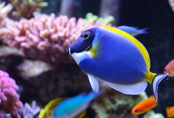 Acanthurus leucosternon powder blue tang and powderblue surgeonfish