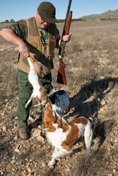 Pointer and brittany hunting dogs retrieving a hare