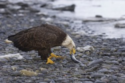 American Bald Eagle on beach with stones and fish food