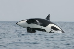 Killer whales and other cetaceans