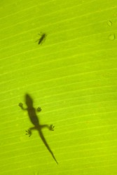 Gecko stalking a beetle on a tropical banana leaf.