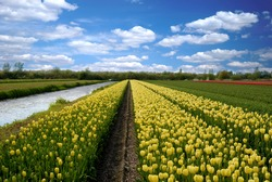 Tulip field under blue cloudy sky, Lisse Netherlands