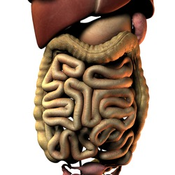 3D Rendering Intestinal internal organ of the woman