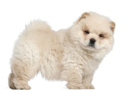 Chow chow puppy, 11 weeks old, standing in front of white background