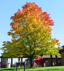 Colorful giant maple tree at the park with colorful leaves-nature photography