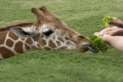 Young hands feed fresh green lettuce to a hungry giraffe