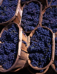 Blue grapes in wedges after the harvest in France