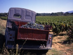 Old French truck in vineyard during the harvest
