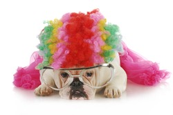 silly dog - english bulldog dressed up like a clown on white background