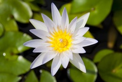 White and yellow water lilly flower open absorbing sunlight