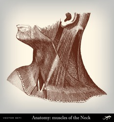 "Engraving vintage muscles neck from ""The Complete encyclopedia of illustrations"" containing the original illustrations of The iconographic encyclopedia of science, literature and art, 1851. Vector."