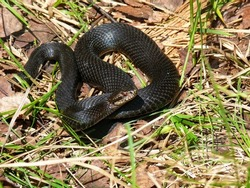 Black European adder