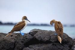 Blue footed boobies on the rocky coastline of Galapagos