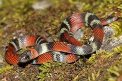 A Vibrant False Coral Snake (Oxyrhopus sp.) in the Peruvian Amazon