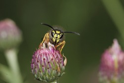 detailed close up view of a wasp on a thistle flower
