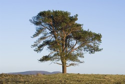 Isolated scots pine tree in winter sunlight