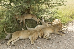 Pride of African Lions (Panthera leo) asleep under a tree in Tanzania's Serengeti National Park