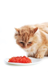 ginger cat eat red caviar on a white background