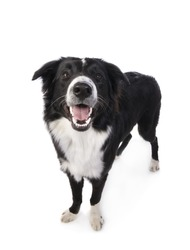 Border Collie Dog standing looking up with mouth open isolated on white background