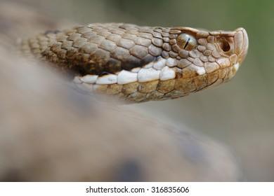 Redi's viper or italian asp (Vipera aspis francisciredi) portrait